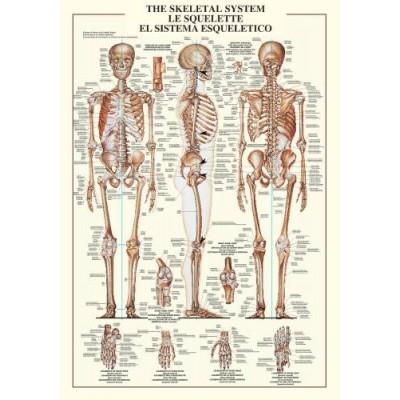 Affiche : Squelette du Corps Humain