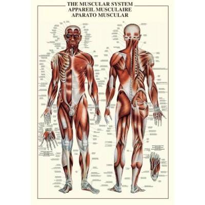 Affiche : Système Musculaire