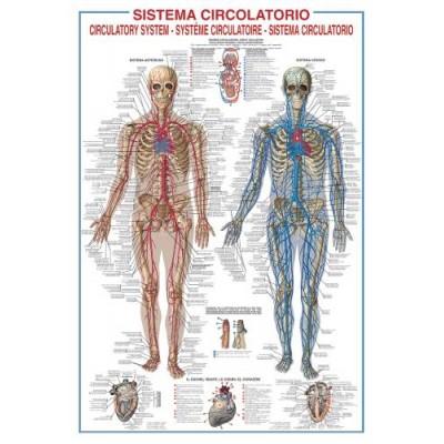 Affiche : Système Circulatoire