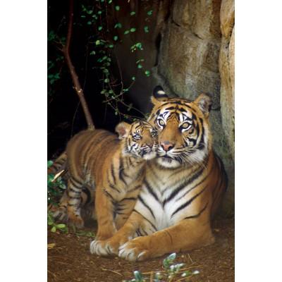 Affiche : Tigre avec Petit