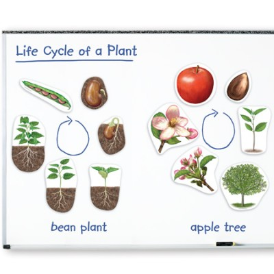 Cycle de Vie: Plante